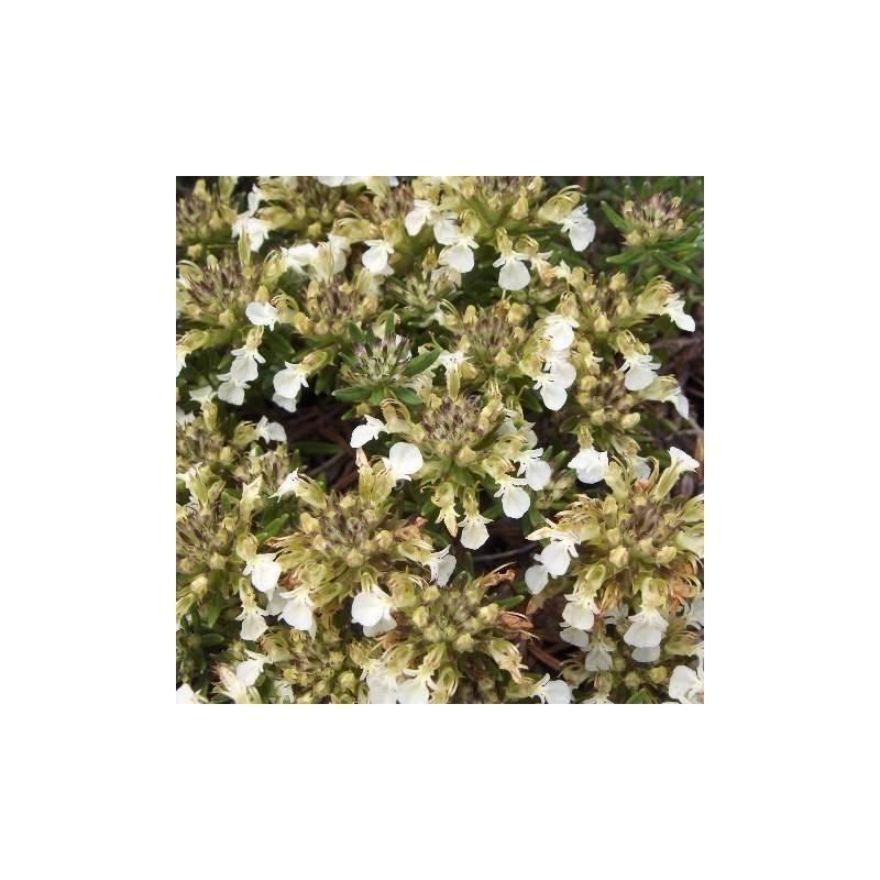 Teucrium montanum, Germandrée des montagnes