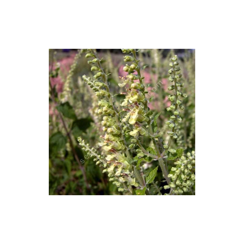 Teucrium scorodania, Germandrée àfeuilles de sauge