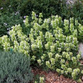 Salvia absconditiflora