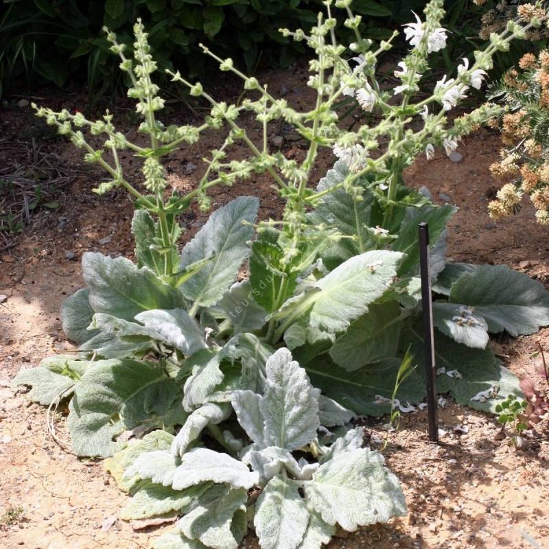 touffe de Salvia argentea - Sauge argentée