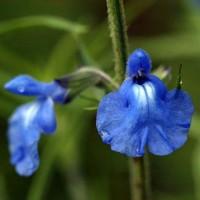 Salvia azurea - Sauge bleue