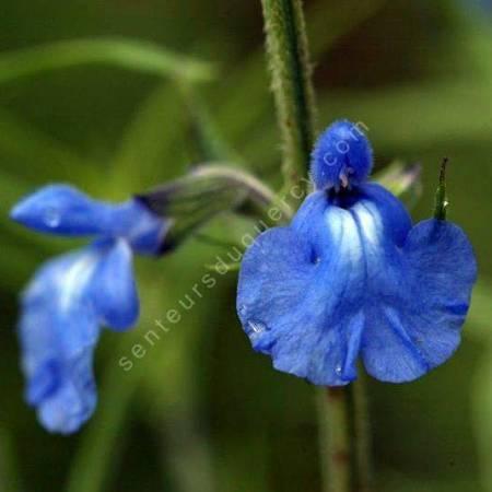 fleur de Salvia azurea - Sauge bleue