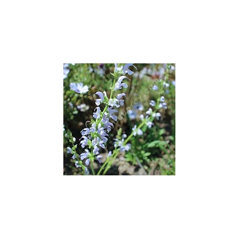Salvia pratensis 'Sky Dance' - Sauge des prés bleu claire