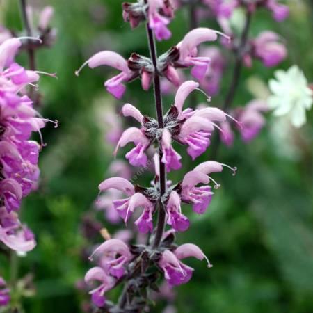 Salvia pratensis 'Rose Rapsody', Sauge des prés