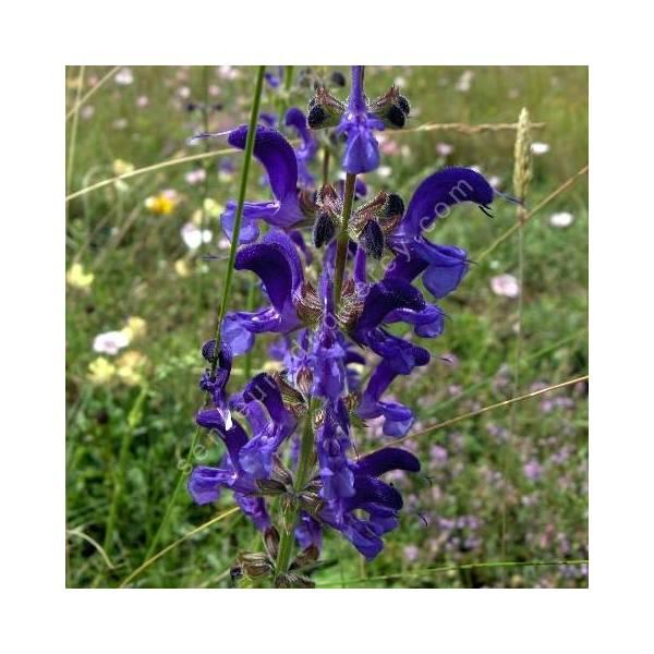Salvia pratensis - Sauge des prés