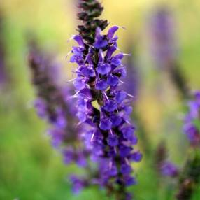 Salvia x sylvestris 'Mainacht' - Sauge des bois