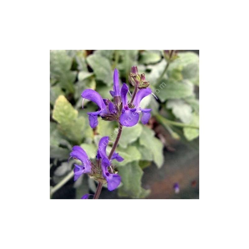 Salvia canescens