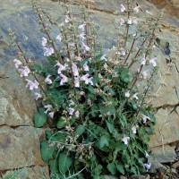 Salvia taraxacifolia - Sauge à feuille de Pissenlit