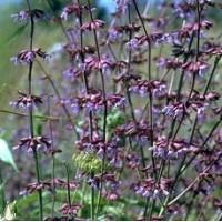 Salvia judaica - Sauge de Judée