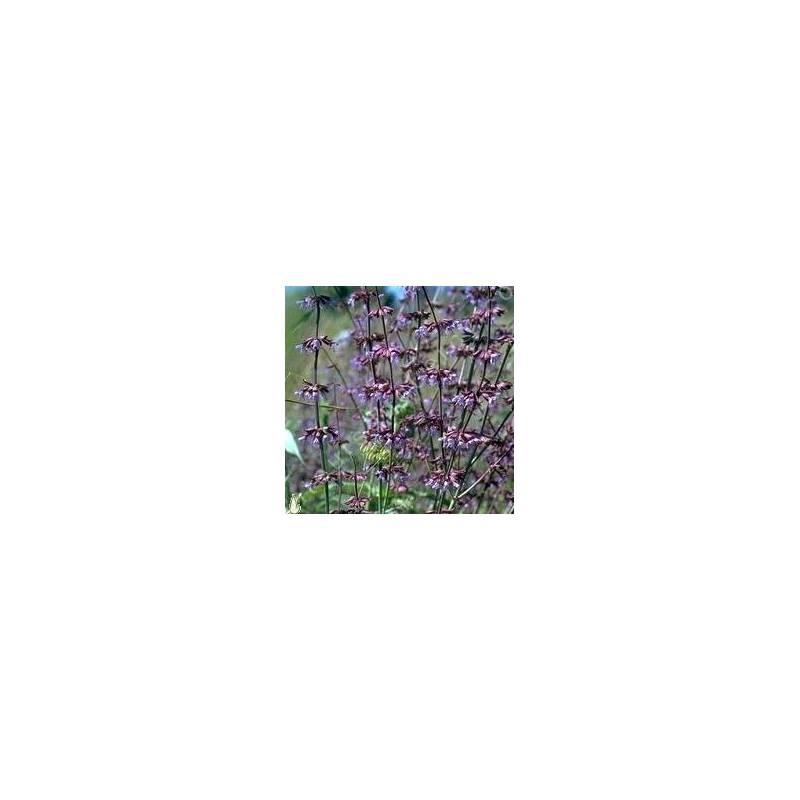 touffe de  Salvia judaica - Sauge de Judée