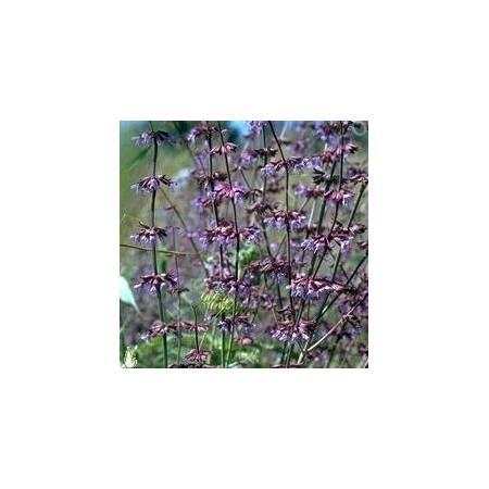 Salvia judaica, Sauge de Judée