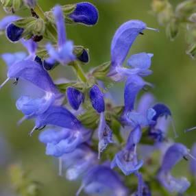 fleur de Salvia transylvanica - Sauge de Transylvanie