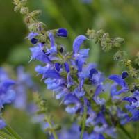 Salvia transylvanica - Sauge de Transylvanie