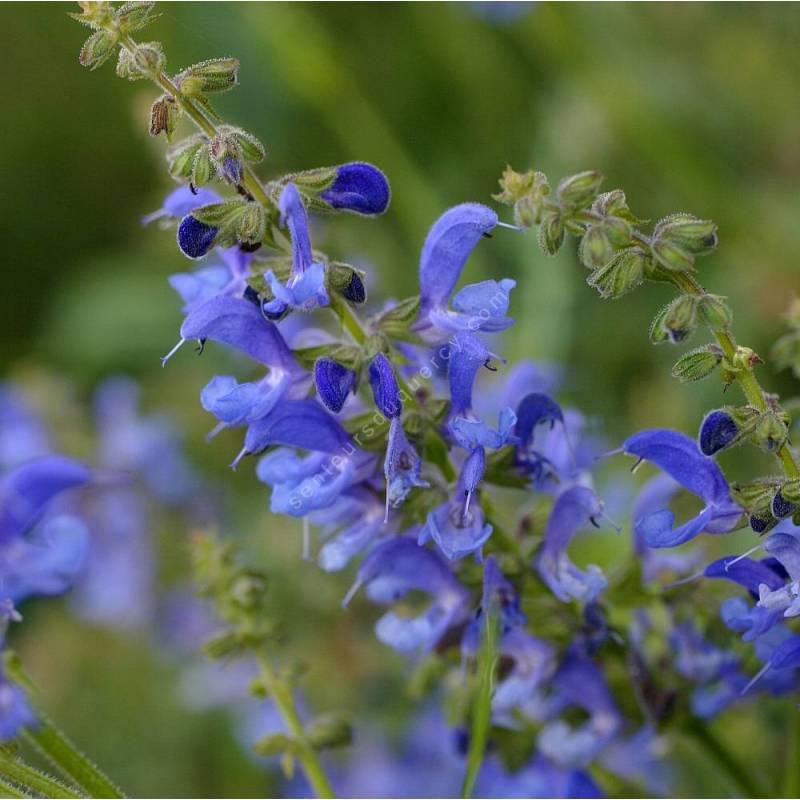 touffe de Salvia transylvanica - Sauge de Transylvanie