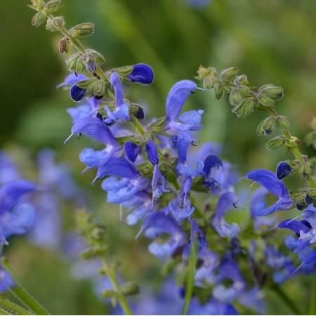 Salvia transylvanica, Sauge de Transylvanie