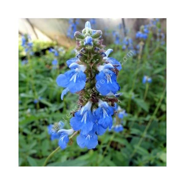 fleur de Salvia uliginosa - Sauge des marais