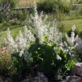 touffe de Salvia sclarea 'Vatican White' - Sauge sclarée blanche