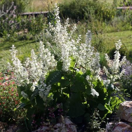 Salvia sclarea 'Vatican White', Sauge sclarée