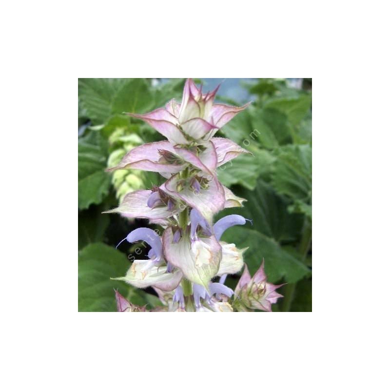 fleur de Salvia sclarea var. turkestanica - Sauge sclarée du Turkestan