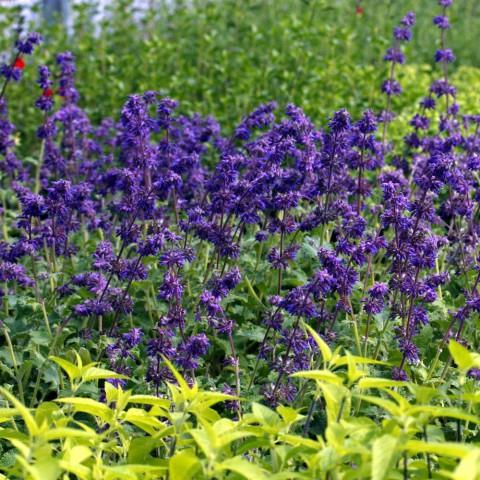 Salvia verticillata 'Purple Rain' - Sauge verticillée pourpre