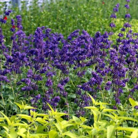 touffe de Salvia verticillata 'Purple Rain' - Sauge verticillée pourpre