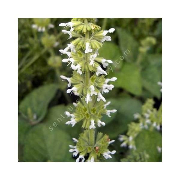 fleur de Salvia verticillata 'Alba' - Sauge verticillée blanche