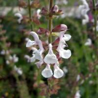 Salvia transcaucasica - Sauge du Caucase