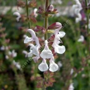 fleur de Salvia transcaucasica - Sauge du Caucase