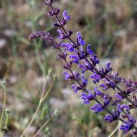 Salvia virgata