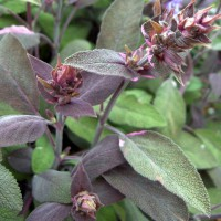 Salvia officinalis 'Purpurascens' - Sauge officinale pourpre