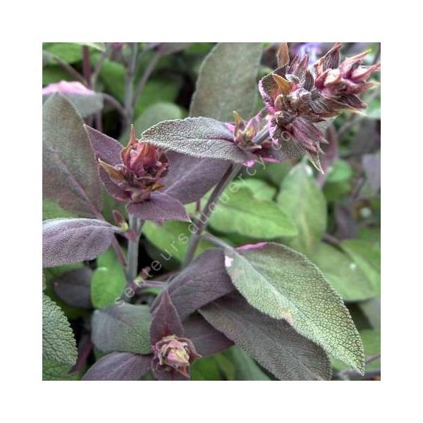 Salvia officinalis 'Purpurascens' - Sauge officinale pourpre