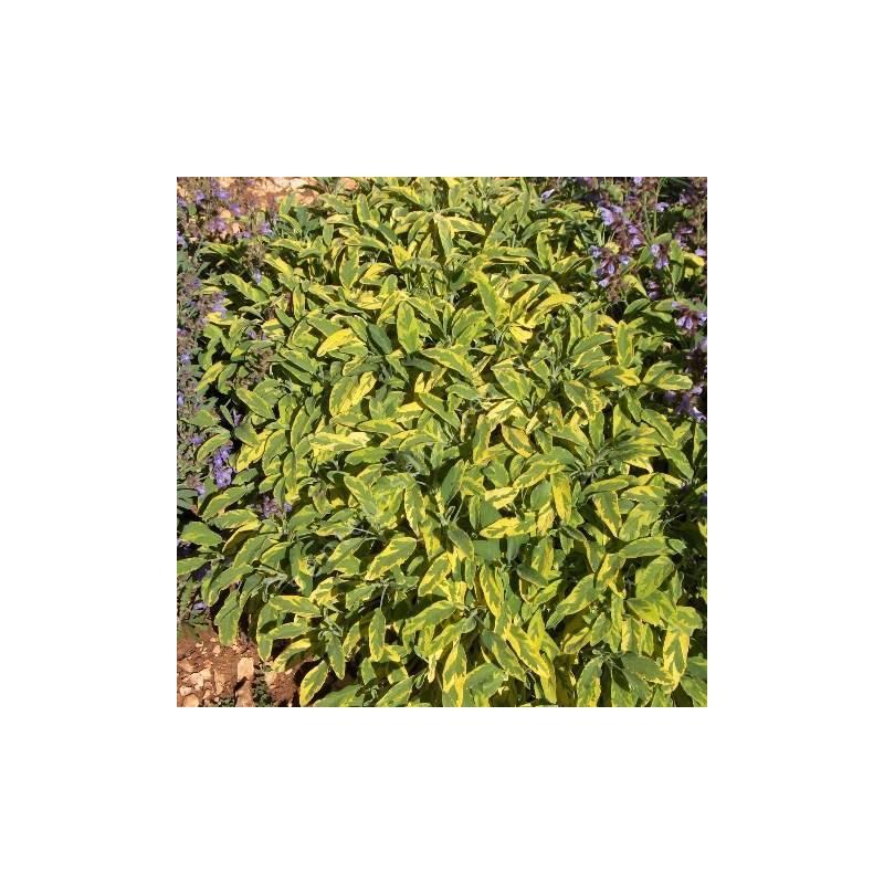 Salvia officinalis 'Icterina' - Sauge officinale panachée