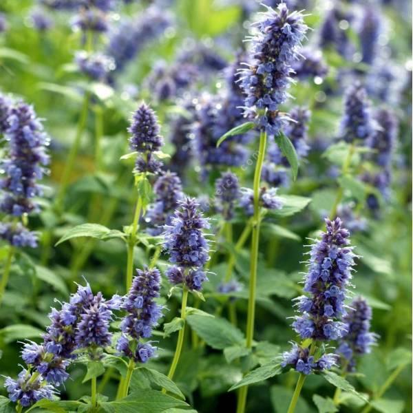 agastache 39 blue fortune 39 plante vivace aromatique bleue. Black Bedroom Furniture Sets. Home Design Ideas