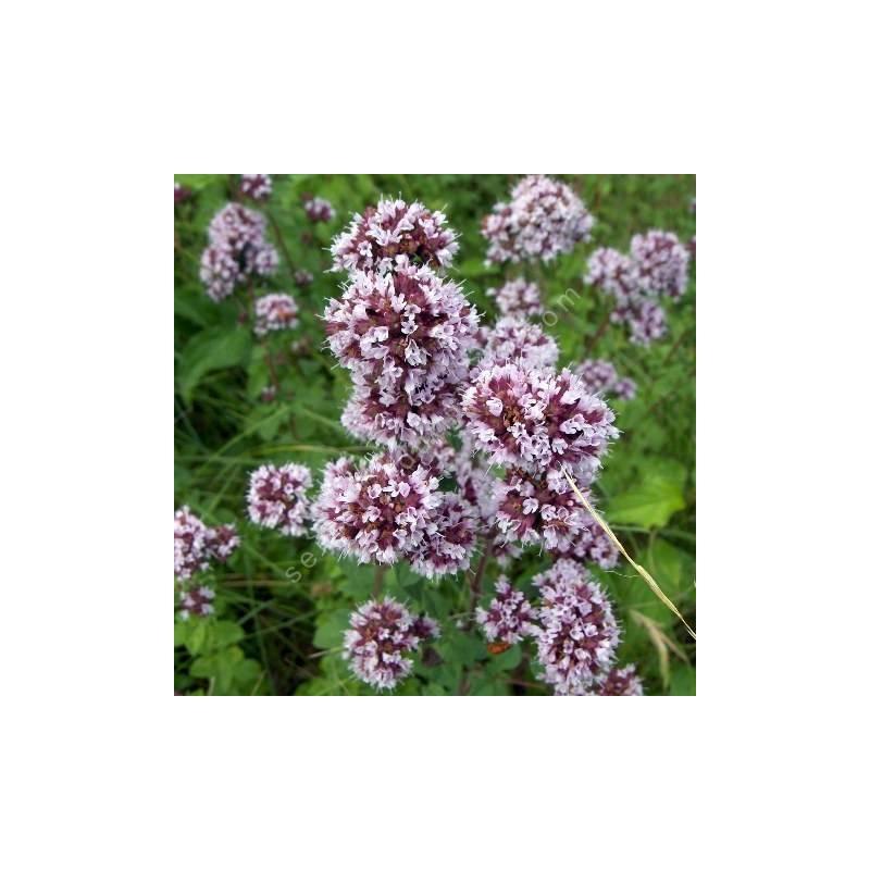 Origanum vulgare - Thym des bergers - Thé sauvage