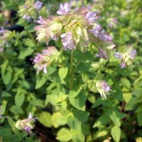 Origanum 'Dingle Fairy'