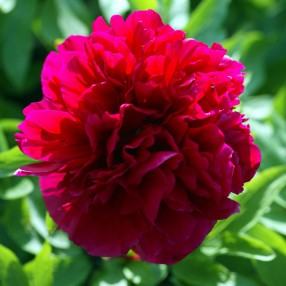 Paeonia 'Karl Rosenfield' - Pivoine herbacée