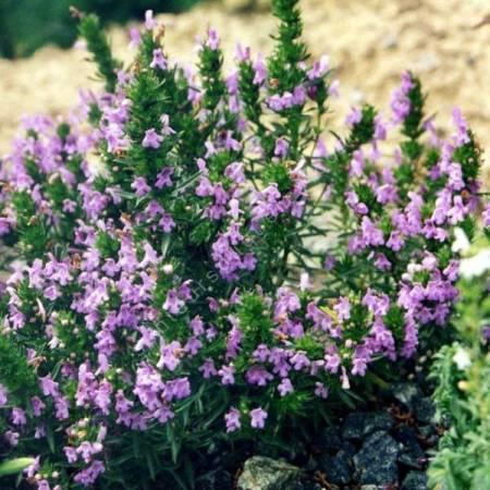Satureja montana subsp. illyrica, Sarriette de Turquie