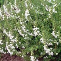Satureja spicigera - Sarriette rampante