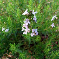Satureja x amoena - Sarriette amoena