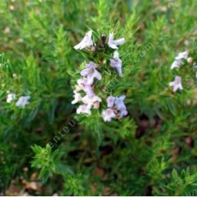 Satureja x amoena, Sarriette amoena