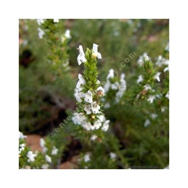 Satureja montana var. citriodora, Sarriette citronnée