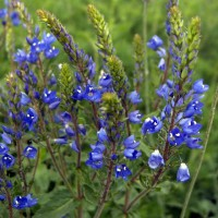 Veronica austriaca subsp. teucrium 'Royal Blue' - Véronique