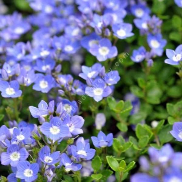 Veronica liwanensis