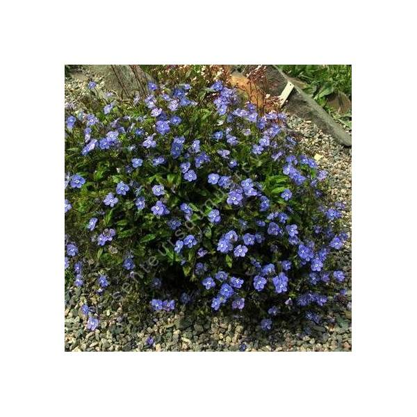 Veronica umbrosa 'Georgia Blue' - Véronique