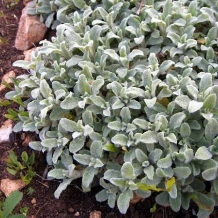 Stachys byzantina 'Silky Fleece'