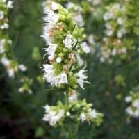 Hyssopus officinalis 'Albus' - Hysope àfleur blanche