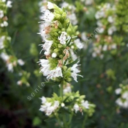 Hyssopus officinalis 'Albus', Hysope àfleur blanche