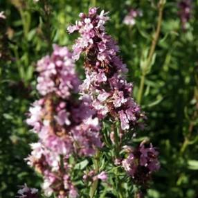 Hyssopus officinalis 'Roseus', Hysope àfleurs roses