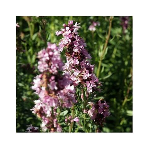 https://www.senteursduquercy.com/3831-thickbox/hyssopus-officinalis-roseus-hysope-a-fleurs-roses.jpg