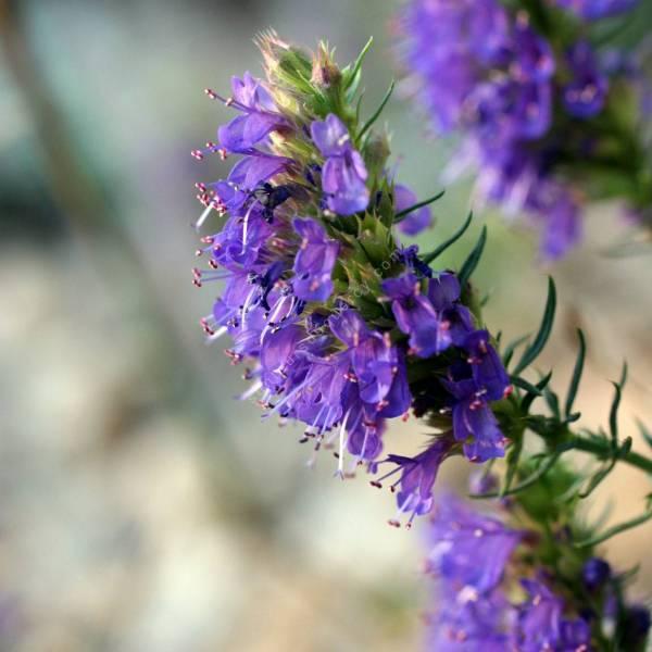 Hysope à Fleur Bleue